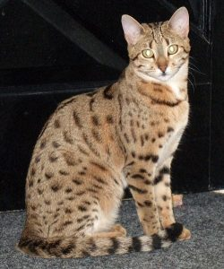 Aradia is a brown, spotted, female F3 Bengal.