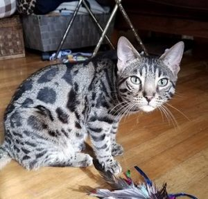 Leo is a brown, rosetted, male F3 Bengal.