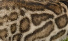 Clouded leopard pattern with smaller spots inside the spots.