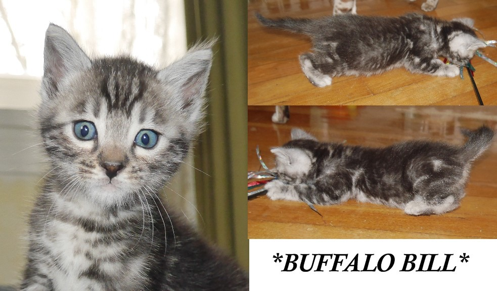 Buffalo Bill 4 Weeks