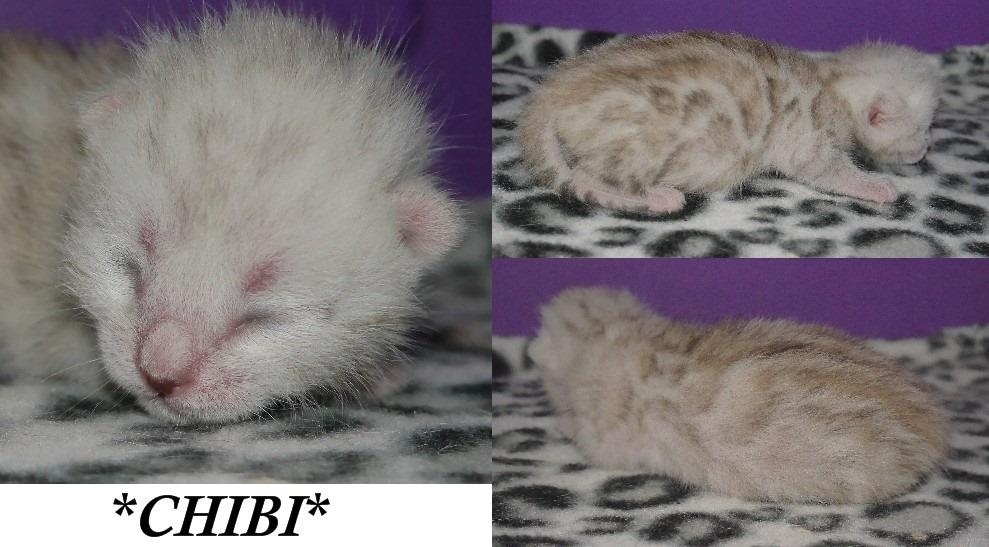 Chibi 1 Week