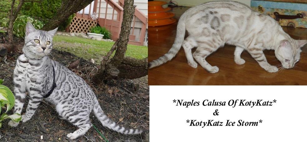 Naples Calusa of KotyKatz and KotyKatz Ice Storm