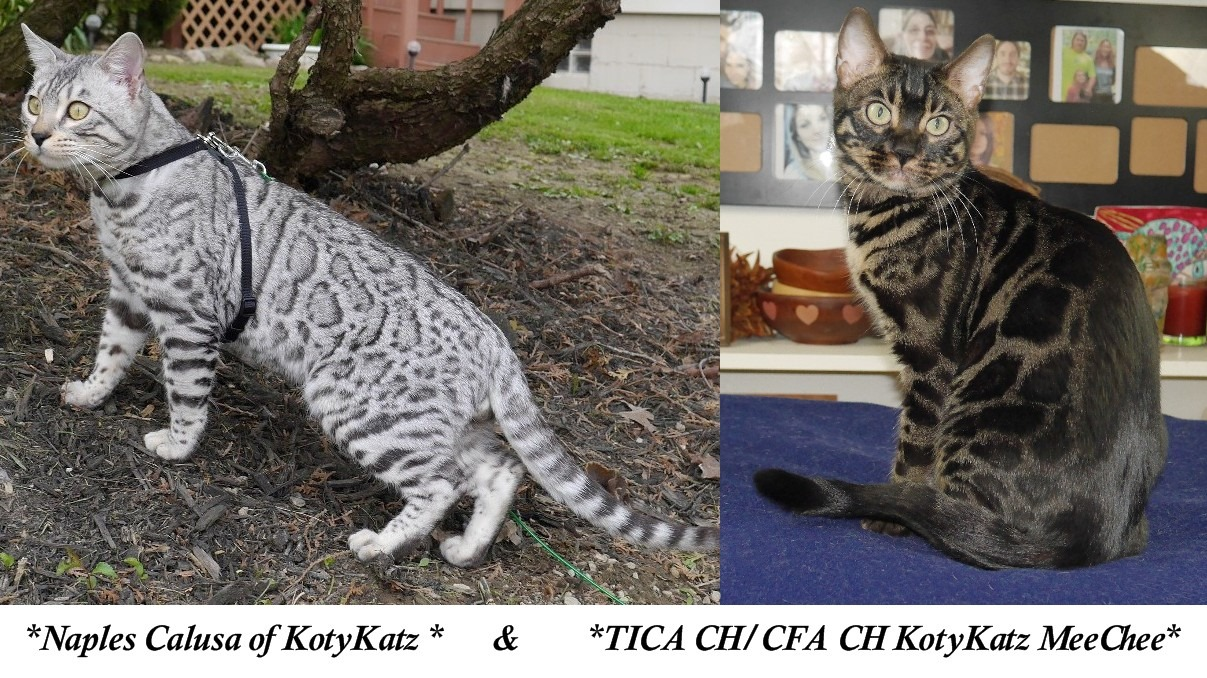 Naples Calusa of KotyKatz and TICA CH/CFA CH KotyKatz MeeChee