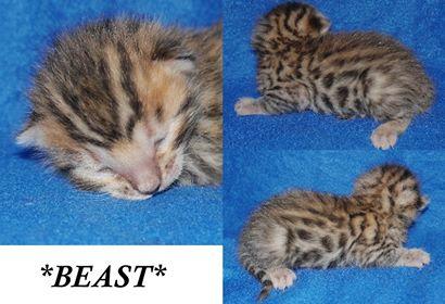 Beast 1 Week
