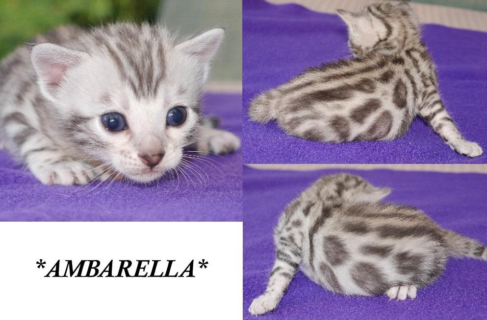 Ambarella 3 Weeks