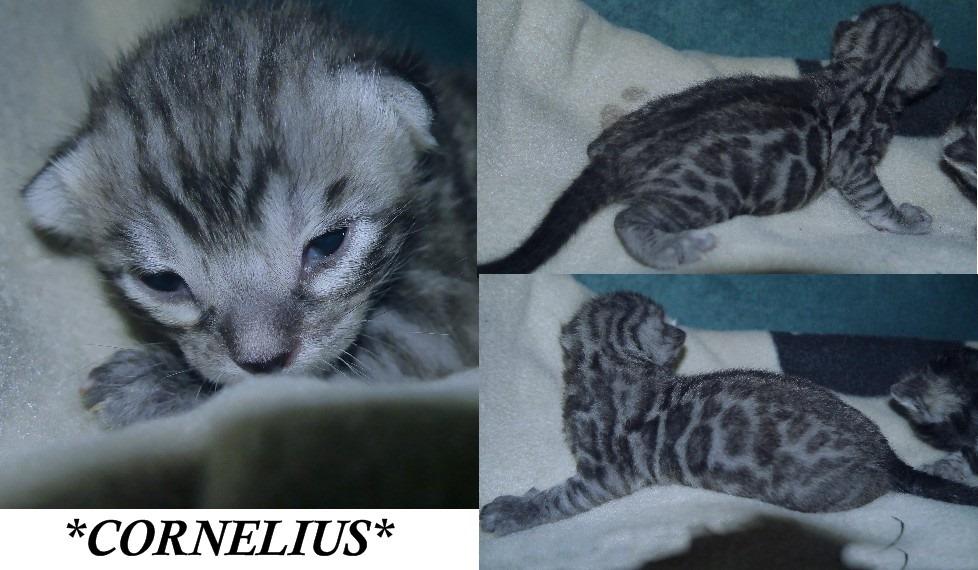 Cornelius 2 Weeks
