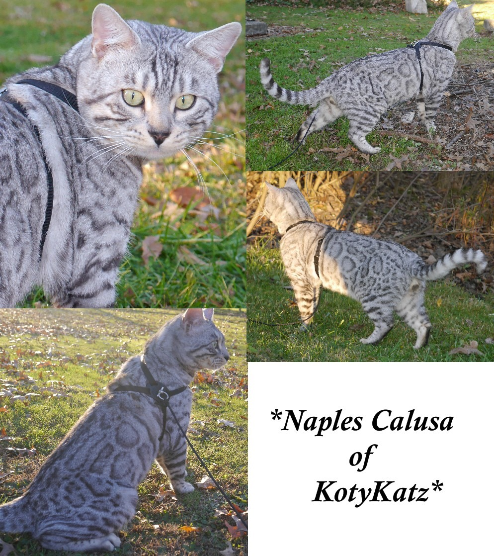 Naples Calusa of KotyKatz 2 Years 3 Months