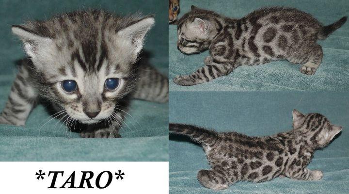 Taro 3 Weeks