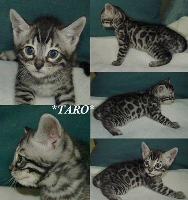 Taro 5 Weeks