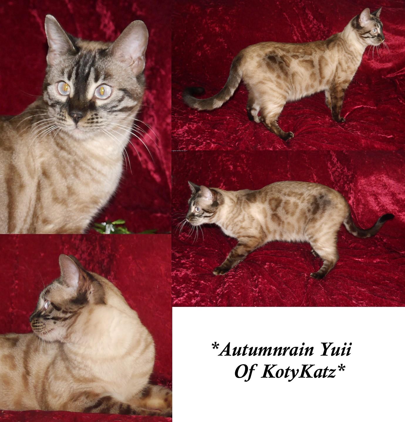 Autumnrain Yuii of KotyKatz
